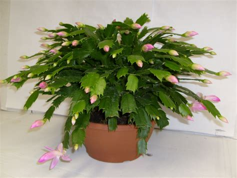 indoor flowering cactus plants take stem cuttings from your christmas cactus plant now