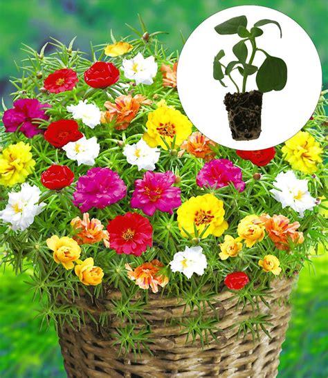 portulak pflanzen kaufen portulakr 246 schen margarita 1a qualit 228 t kaufen baldur