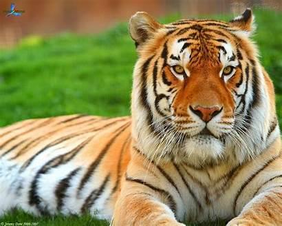 Tigre Siberiano Animal Tigres Mundo Ama Lindo