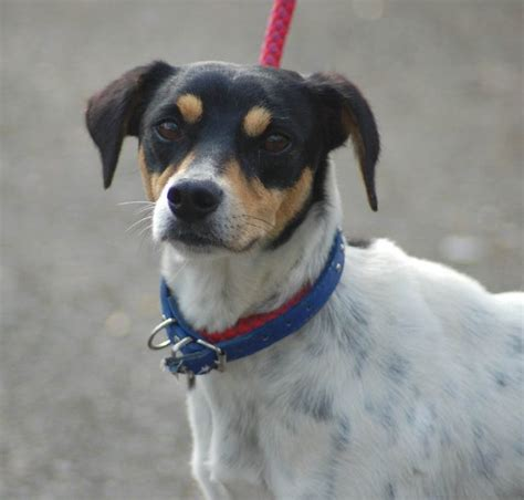 S Y  Year Old Male Ratonero Bodeguero Andaluz Spanish Jack Russell Terrier Dog For Adoption