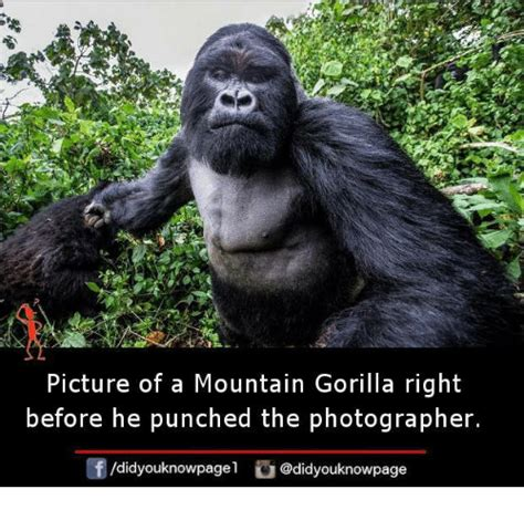Gorilla Memes - picture of a mountain gorilla right before he punched the photographer f didyouknowpage meme