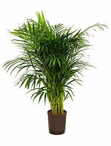 Hydrokultur Pflanzen Kaufen : areca lutescens goldfruchtpalme palmenmarkt ~ Buech-reservation.com Haus und Dekorationen
