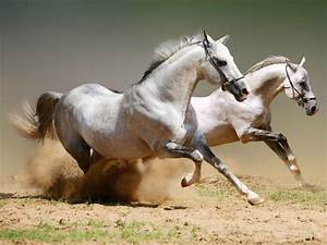 Beautiful running arabian horses - Pixdaus