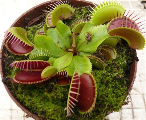 fly trap plant venus fly trap plant images www imgkid com the image kid has it