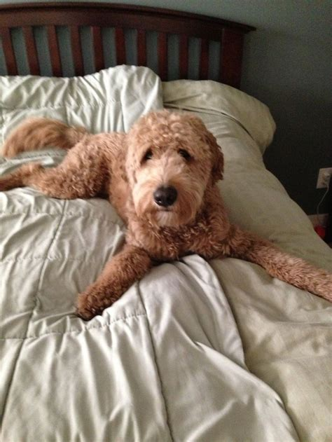 goldendoodle goldendoodle haircuts cavapoo puppies