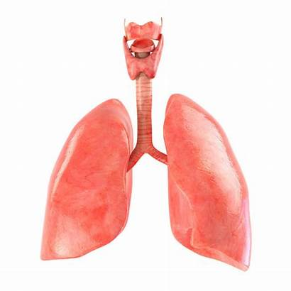 Lungs 3d Animated Poly Low Fbx Vr
