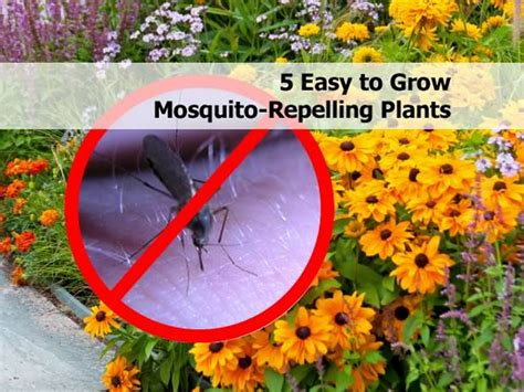 how to grow mosquito plant 5 easy to grow mosquito repelling plants