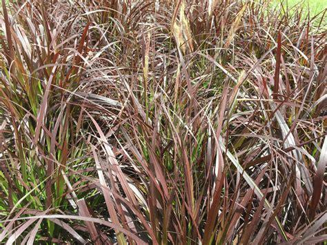 purple grass purple grass hardiness 28 images online plant guide pennisetum setaceum rubrum fireworks