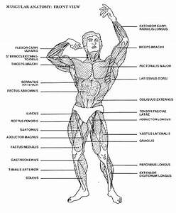 38 Best Drawing Muscle Images On Pinterest