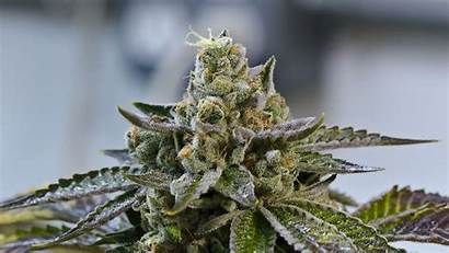 Weed Marijuana Trippy Cannabis Rasta Plant Psychedelic