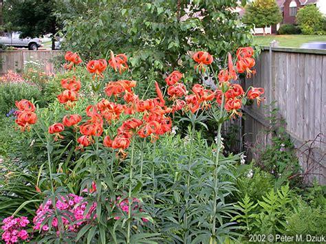 lilium michiganense michigan lily minnesota wildflowers