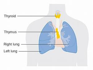New Me Body Part  Thymus Gland   Retconned
