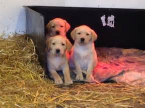 Fox Red Golden Retriever Puppies for Sale