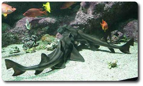port jackson shark   cool species  shark shark
