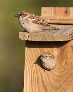 Give A House Sparrow A Home - Wildlife Articles