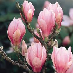 flowers for sale buy magnolia x soulangeana j bulbs