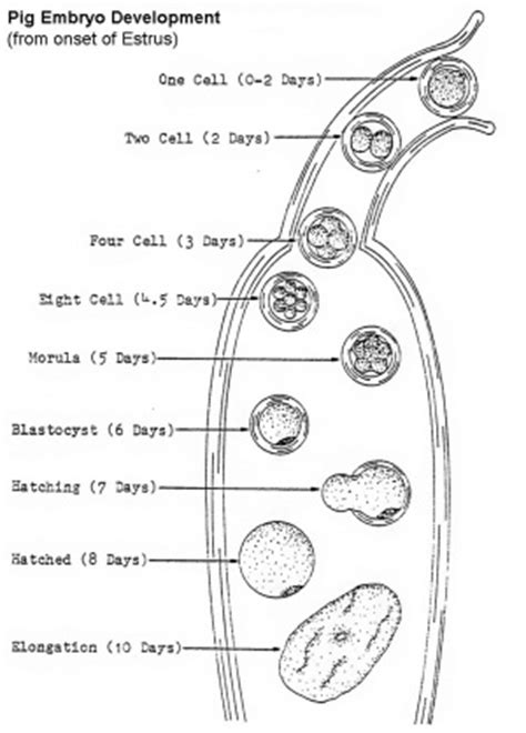 Pig Development - Embryology