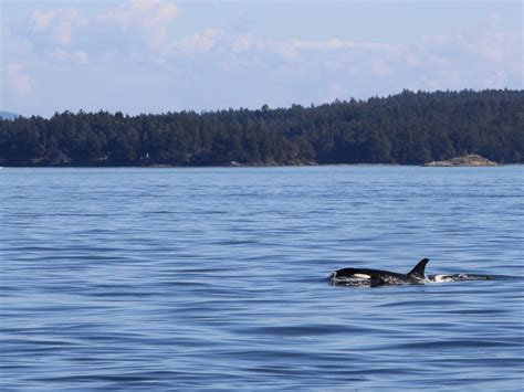 Killer Whales Under Our Boat