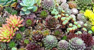 sukkulenten winterhart kaufen sukkulenten kaufen pflanzenfreunde