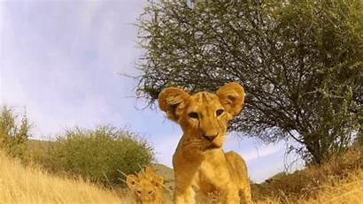 Wildlife Lion Nature Animal Cub Funny Animated