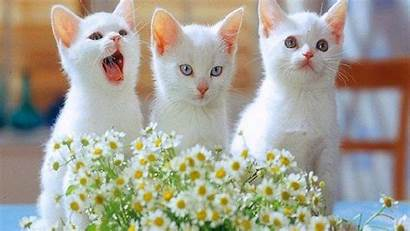 Cat Wallpapers Cats Kitten Desktop Lovely