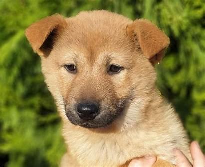 Jindo Dog Korean Puppies Brindle Breed Colors