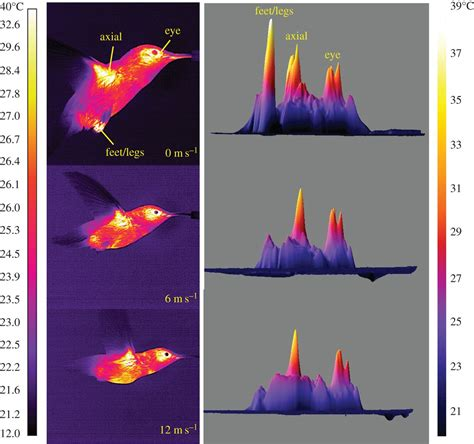 infrared heat l for plants infrared video reveals how hummingbirds dissipate heat