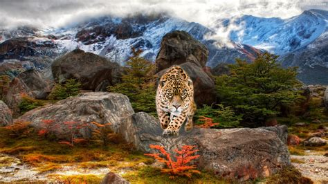 Jaguar Animal Hd Wallpapers 1080p - beautiful jaguar wallpaper hd