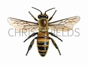 Honey Bee  Worker  Apis Mellifera In002 Illustration