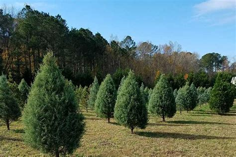 best place to cut your own christmas tree in va best places to cut your own tree richmond