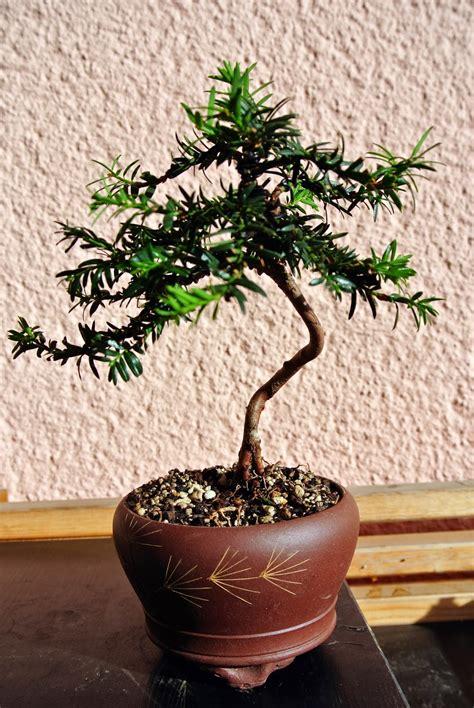 bonsai gemeinschaft unsere schoensten bonsai