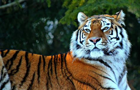 Awesome Royal Filled Tiger Wallpapers Hand Picked