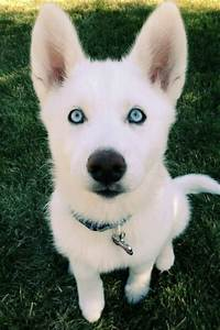baby husky dogs with blue eyestml