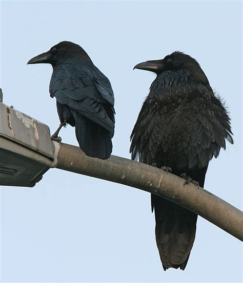 raven vs crow natural wonders pinterest crows