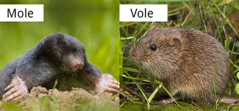 vole vs mole vole identification what is a vole what do they eat look like