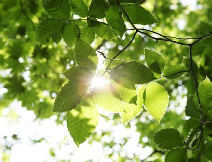 hostas  grow  full sun  partial shade