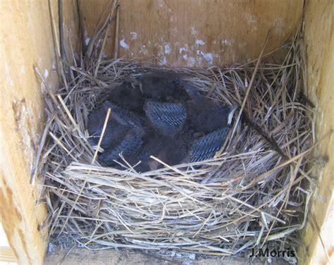 western bluebird nesting behavior courtship nest