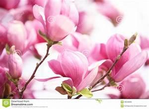 Fleur De Magnolia : fleur rose de magnolia image stock image du fragile ~ Melissatoandfro.com Idées de Décoration