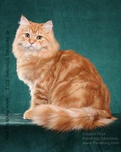 image of red classic siberian cat at pendraig siberians ...