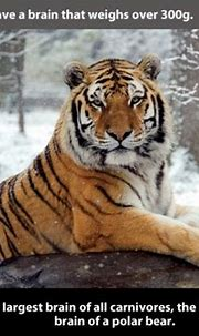 22 Interesting facts about Tigers - Gallery | eBaum's World