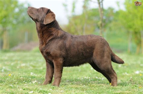 Labrador Retriever Dog Breed Information, Buying Advice
