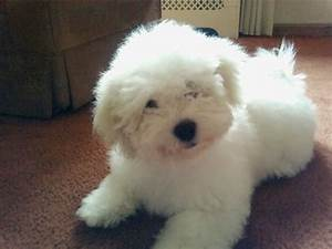 Fluffy Little White Dogs Puppy - Litle Pups