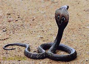 Animals world: Black cobra snake pics and wallpapers