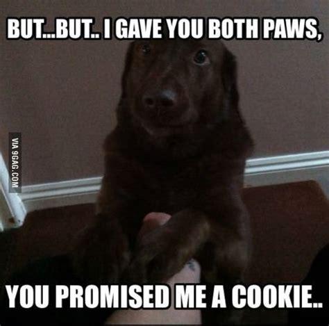 Labrador Meme - funny chocolate lab