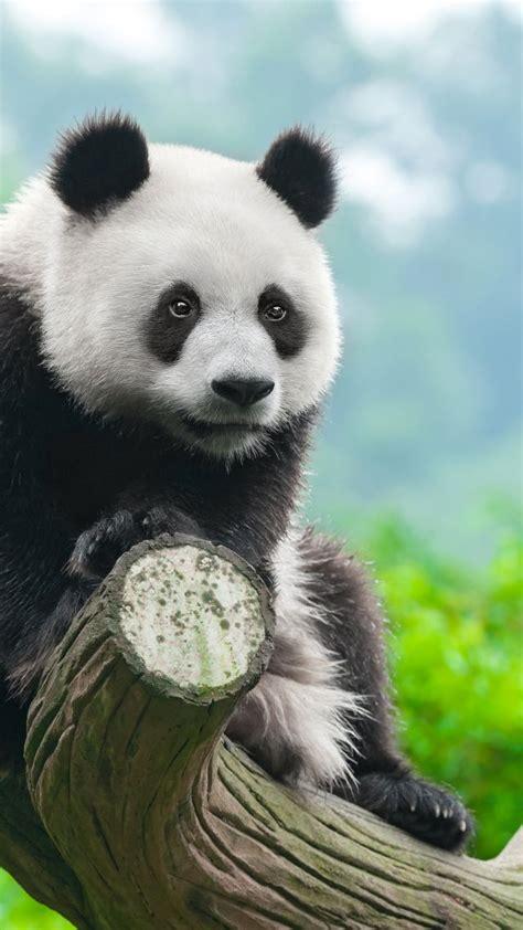 Animal Wallpaper 4k - wallpaper panda animals 4k animals 14878