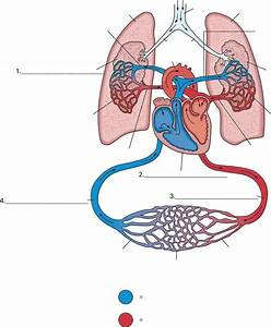 Pictures Of The Circulatory System Diagram   Pictures Of