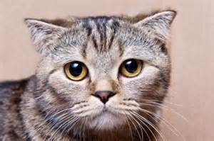 what is a tabby cat tabby cat pictures