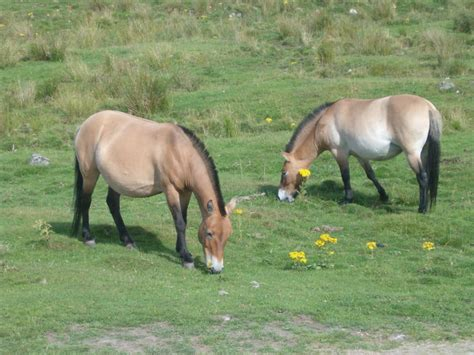 przewalski horse bio diet facts animalia nutrition animals habitat precocial