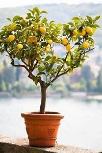 Zitronenbaum Gelbe Blätter : zitronenbaum pflege was muss man beachten ~ Lizthompson.info Haus und Dekorationen