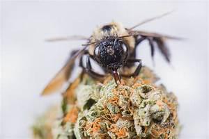 Warum Machen Bienen Honig : cannahonig kann man bienen beibringen honig aus weed zu machen ~ Whattoseeinmadrid.com Haus und Dekorationen